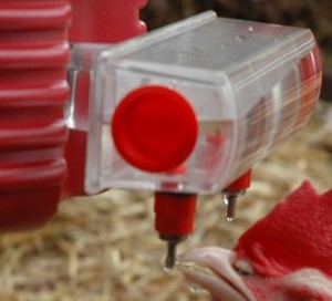 Quail Waterer Demo