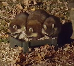 Three raccoon feeder